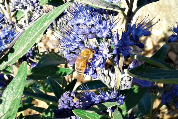 Bee-Friendly Xeriscapes!